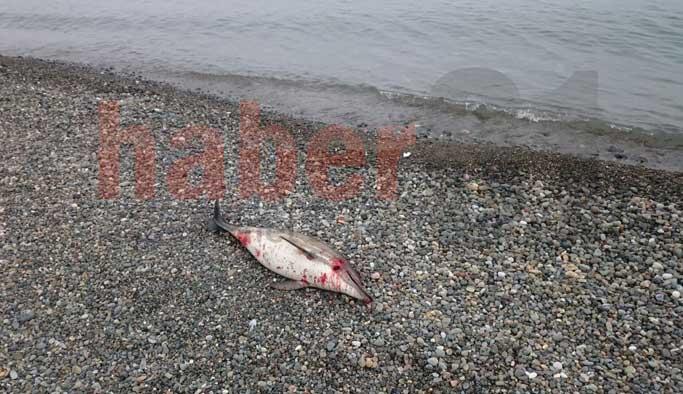 Trabzon'da yine yunus balıkları karaya vurdu