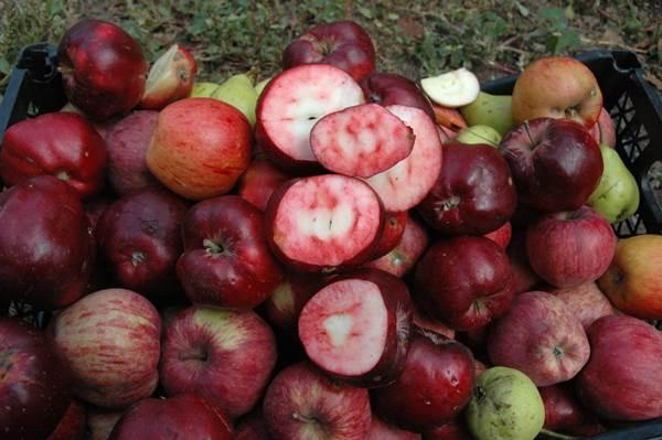 Bu elmanın hem içi hem dışı kırmızı