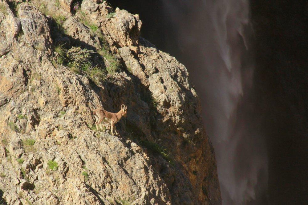 Munzur Dağları'nda çengel boynuzlu dağ keçileri görüntülendi