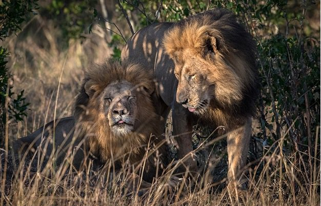 Eşcinsel aslanlara garip suçlama