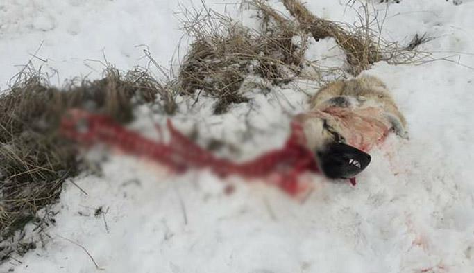 Aç kalan kurtlar, köpeği zincirlerinden çıkarıp yedi