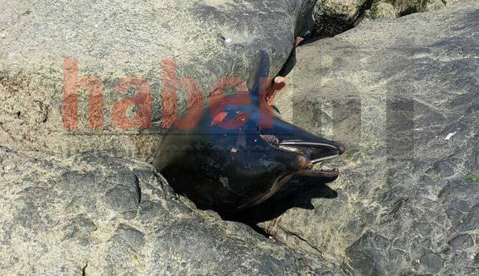Trabzon'da 1 haftada 3. olay! Yunus balığı karaya vurdu