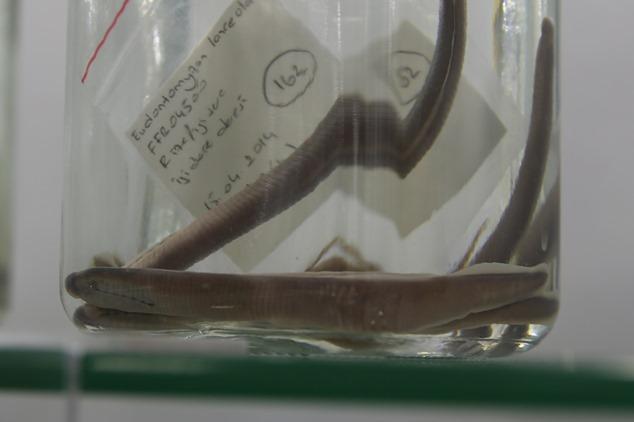 Rize'de, yeni balık türü keşfedildi
