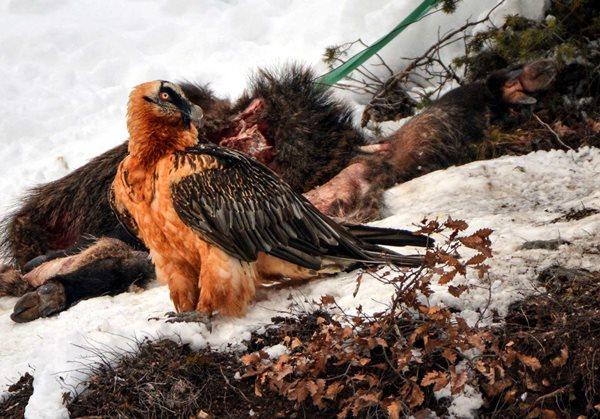 Türkiye'nin en nadir kuşu Karadeniz'de görüntülendi