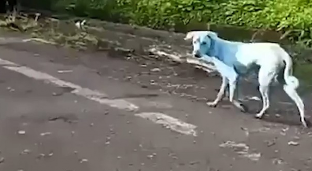 Mavi köpekler görenleri şaşkına çevirdi