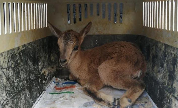 Yaban keçisi anne şefkatini veterinerden aldı