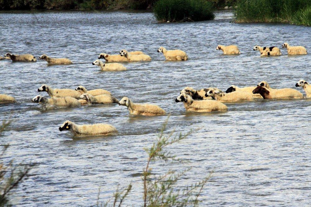 Yayla dönüşü, hayvanlarını nehirden geçirdiler