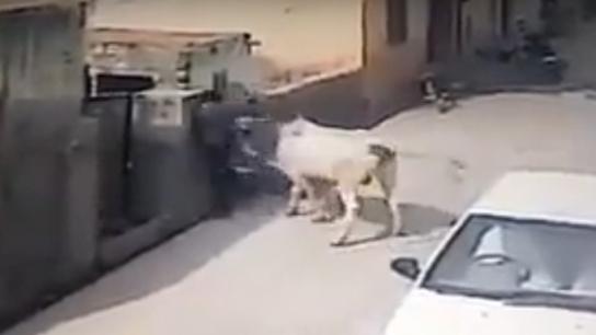 Adama inek saldırdı